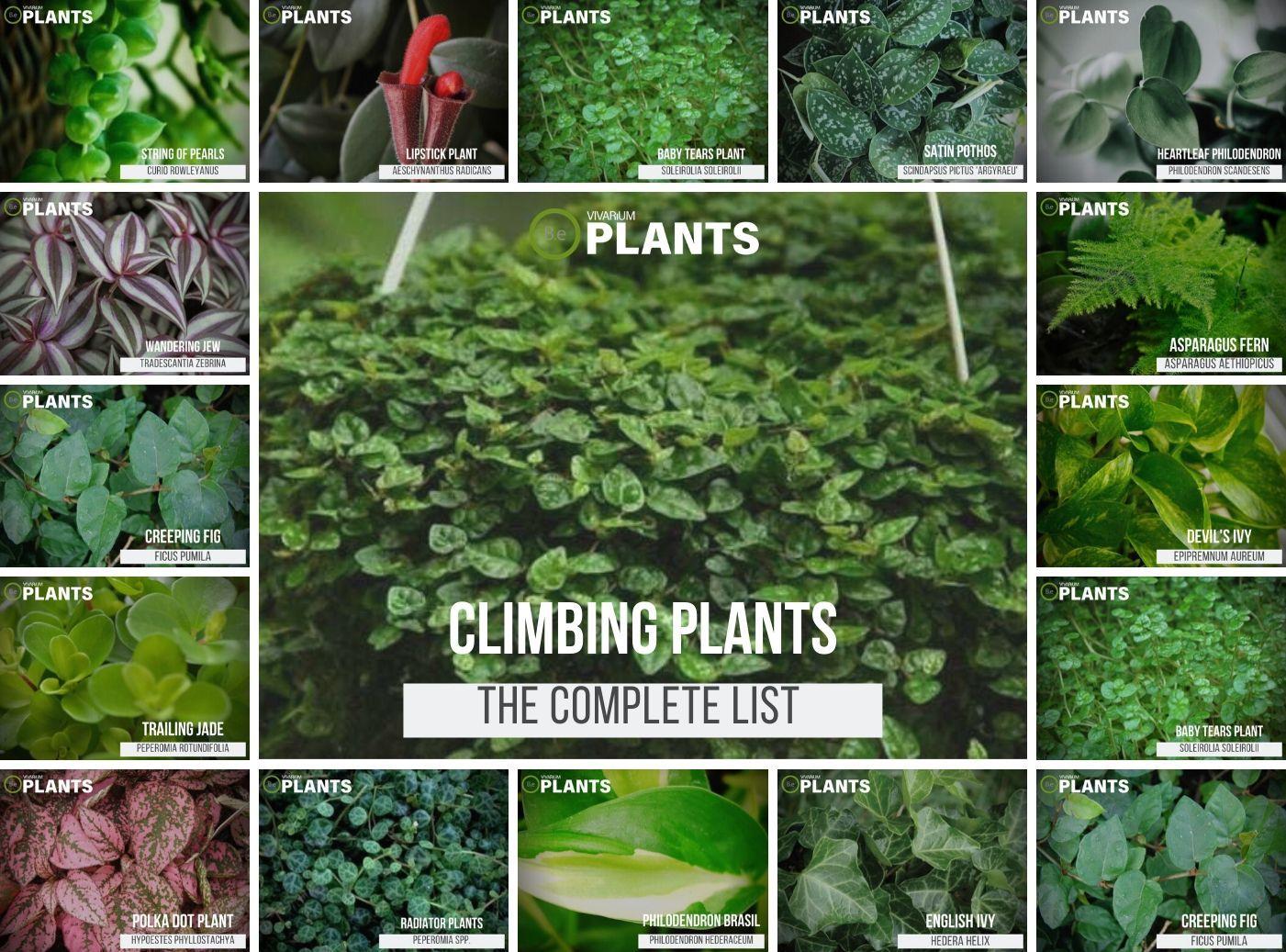 Complete List Of Vine Plants For Vivariums Care Guide Tips Plants Ivy Plants Climbing Plants