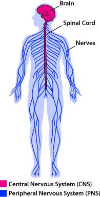 Central and peripheral nervous system anatomy cc cycle 3 cc cycle 3 week 4 the parts of the nervous system ccuart Images