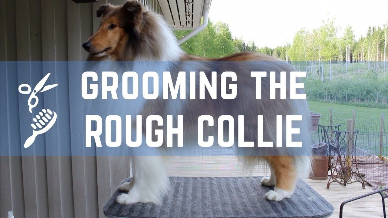 Grooming The Rough Collie Pitkakarvaisen Collien Trimmaus
