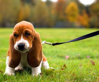 Puppies For Adoption Near Me With Basset Hound Puppies For Adoption