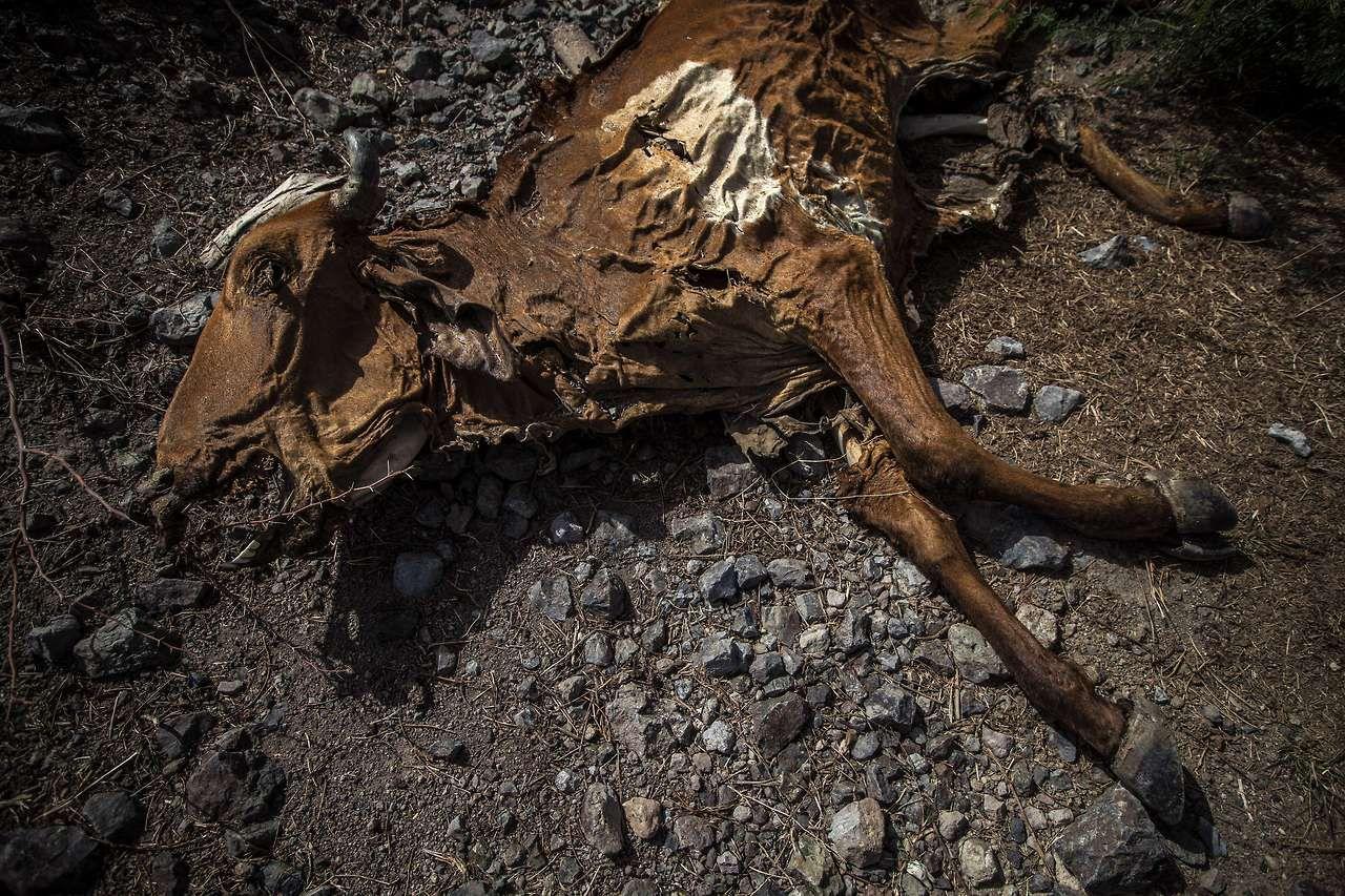 El cadáver de una vaca se observa cerca de San Francisco Libre, a 70 km de Managua, Nicaragua a principios de Agosto de 2014. Alrededor de 2.500 cabezas de ganado han muerto hasta ahora en Nicaragua debido a la sequía causada por el fenómeno de El Niño, que dificulta la producción agrícola. En Argentina por el contrario el mismo fenómeno provoca exceso de lluvias e inundaciones.  (AFP / DIANA ULLOA)