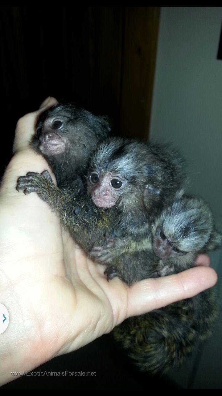 spider monkey pet care