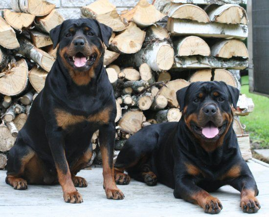 Esmond Rottweilers Rottweiler Breeder Champion And Working