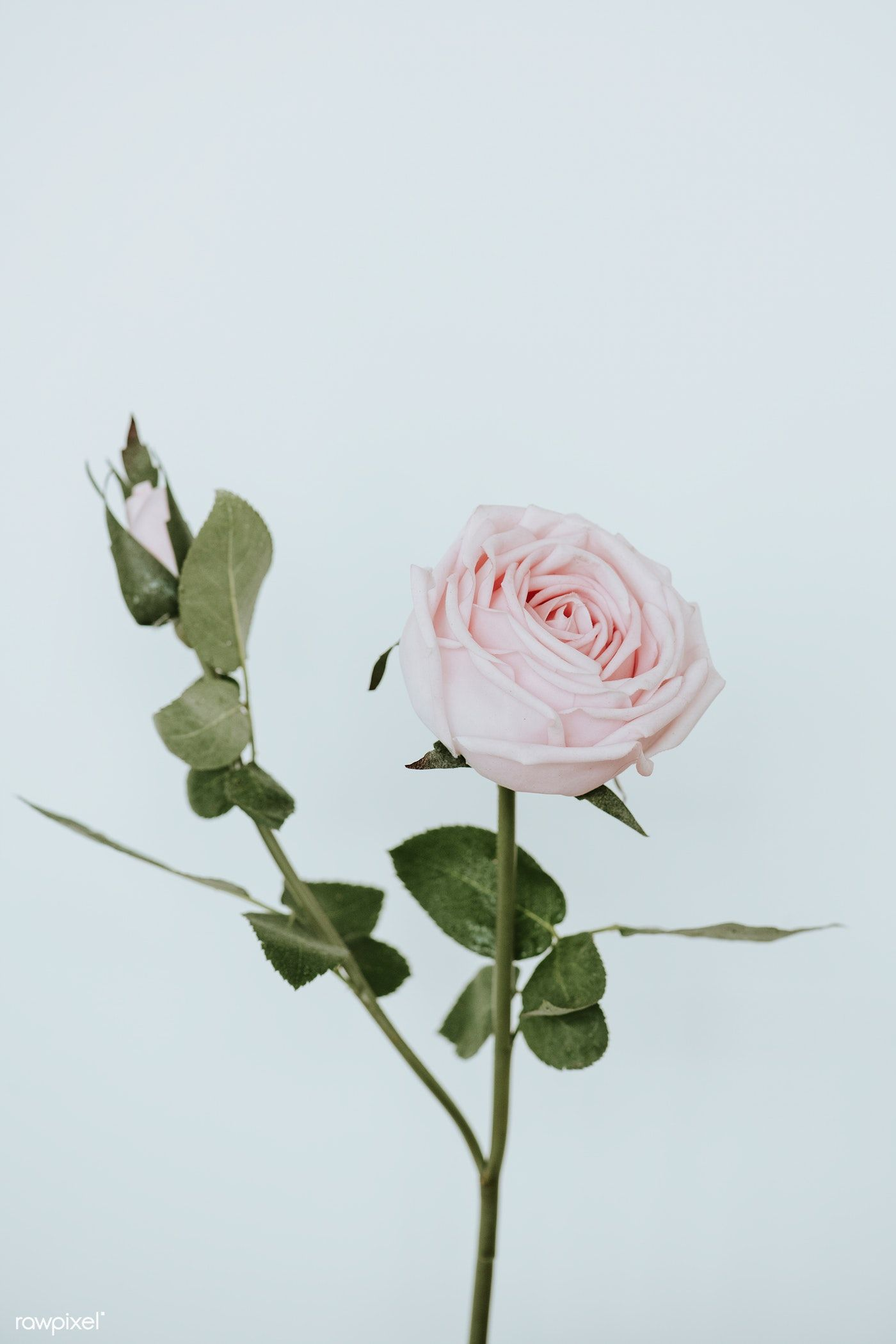 Download Premium Photo Of Light Pink Rose Flower On White
