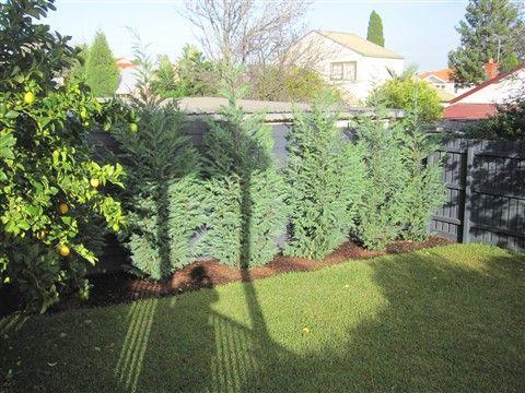 Evergreen Backyards Privacy Trees Backyard Backyard