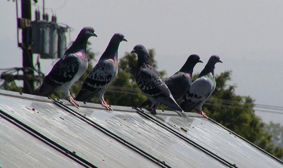 how to get rid of pigeons under solar panels