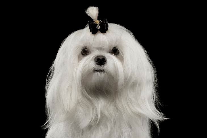 Pin By Maltesedog On Maltese Dog Cute Maltese Dogs Maltese Dog