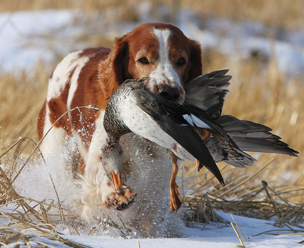 Pin On Hunting Dogs And Vintage Hunting Stuff