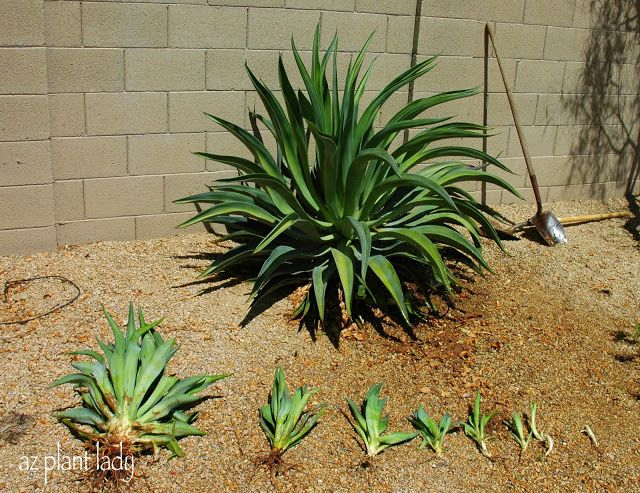 Pups Ready To Leave Home Agave Plant Plants Outdoor Plants