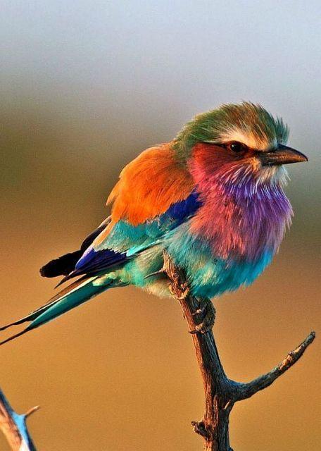 Le Rollier à longs brins est un oiseau magnifique – photo sur