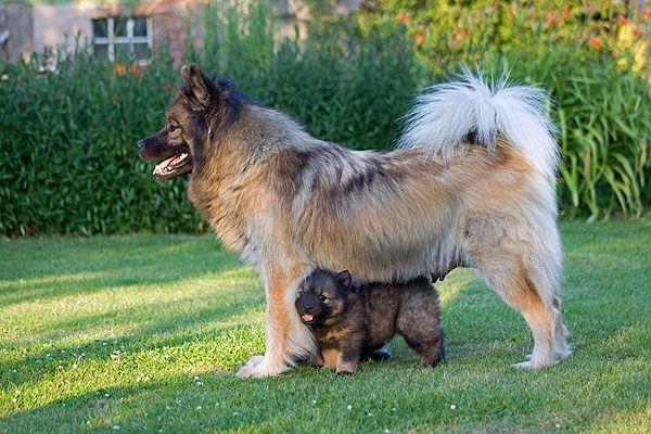 Eurasier Welpe Und Hundin Eurasier Hunde Fotos Hunde