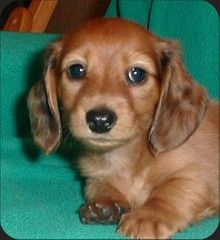 Search Images Daschund Puppies Dachshund Puppies Daschund Dog