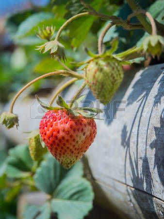 strawberry vine: Strawberry fruits on the branch