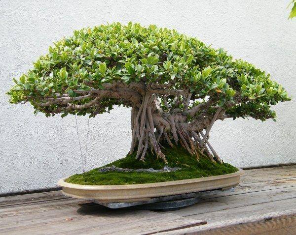 chinesischer banyan-baum bonsai-art geeignet-pflegetipps | bonsai, Garten und Bauten