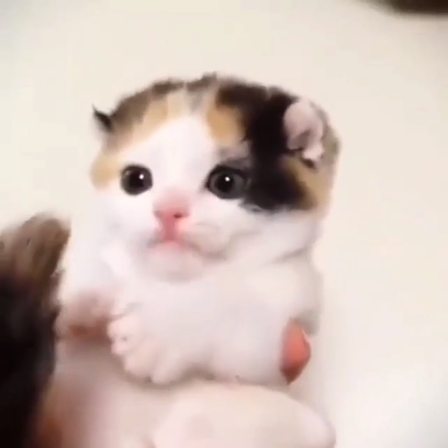 Cute Kitten Biting It's tail #adorablekittens