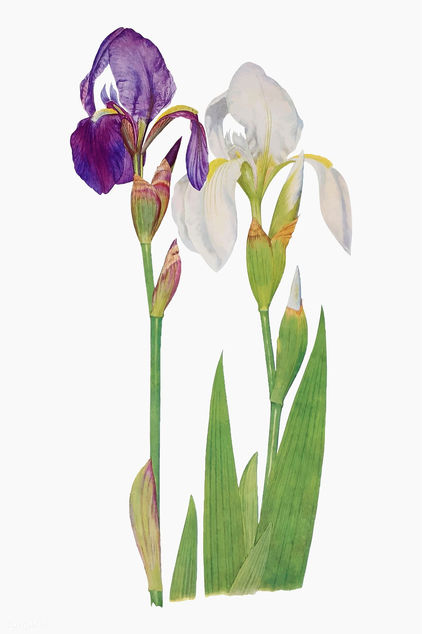 Download Premium Vector Of Vintage Iris Flower Illustration Vector 2100224 Flower Illustration Iris Flowers Illustration
