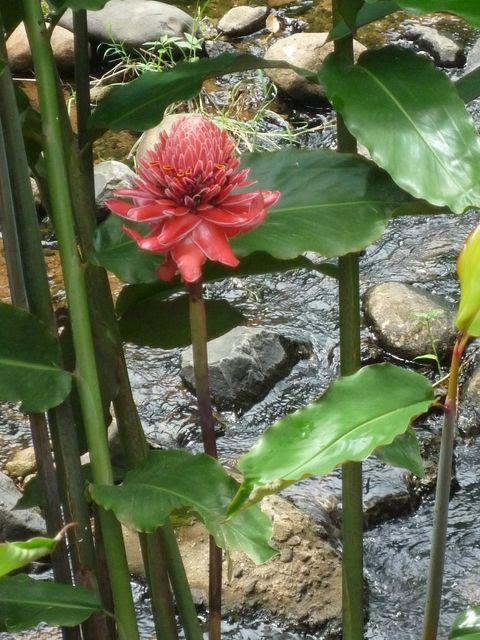 Photo Rose De Porcelaine Fleurs Et Plantes Martinique Toutes