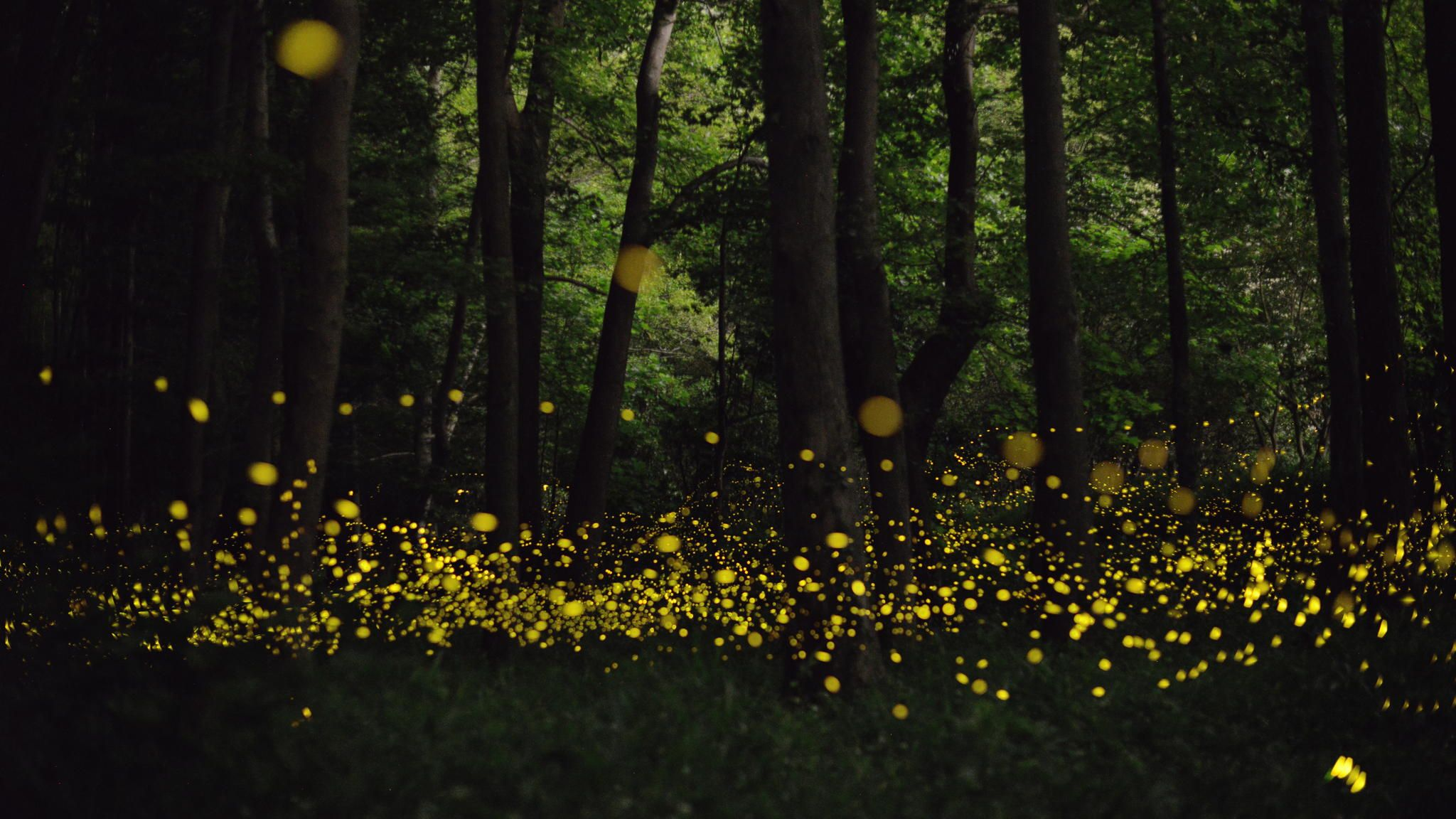 Fireflies Illuminating A Dark Forest By Amateur Photographer Tsuneaki Hiramatsu Who Spent His Summer Evenings In The Forests Outside Niimi