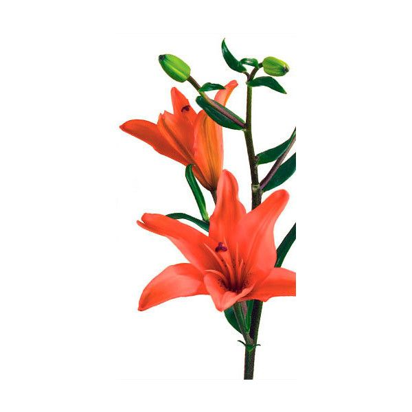 Lily Flower Meaning Symbolism Lily Facts Teleflora