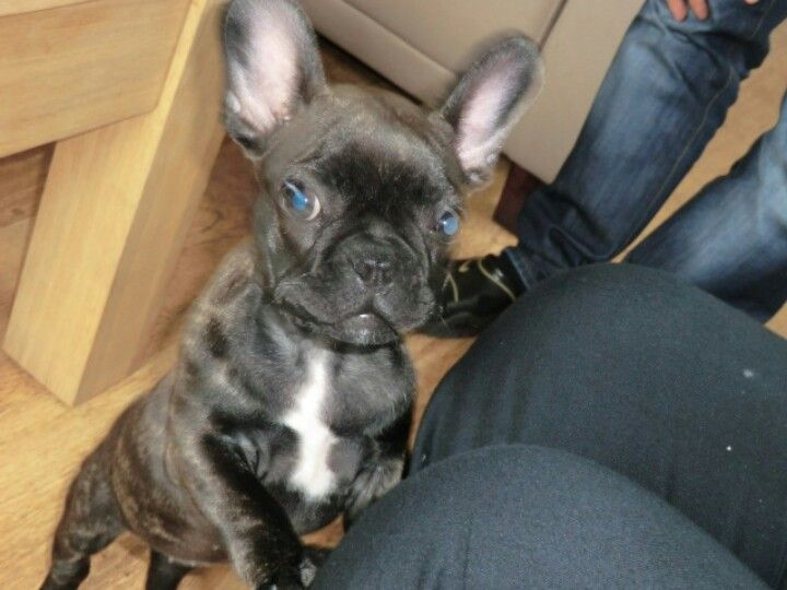 Big Ears And Blue Eyes Gorgeous French Bulldog Puppy French