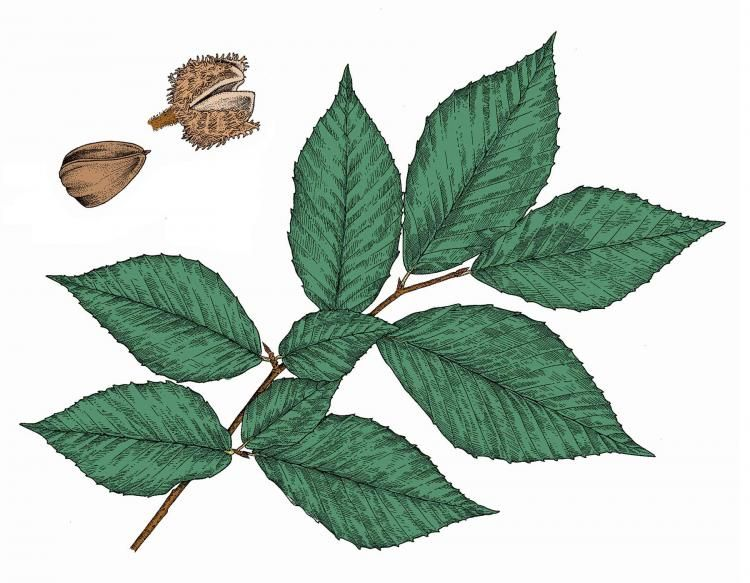 American Beech Leaves And Nut Beech Tree Leaves Trees To Plant Ohio Trees