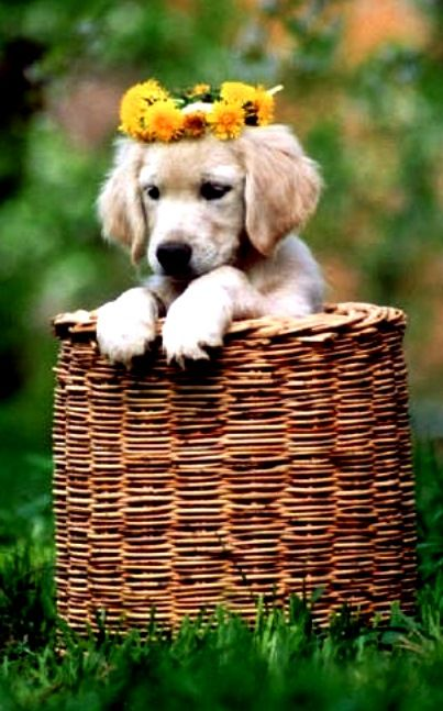 Golden Puppy In A Basket Flower Crown Toni Kami Flowers In Their
