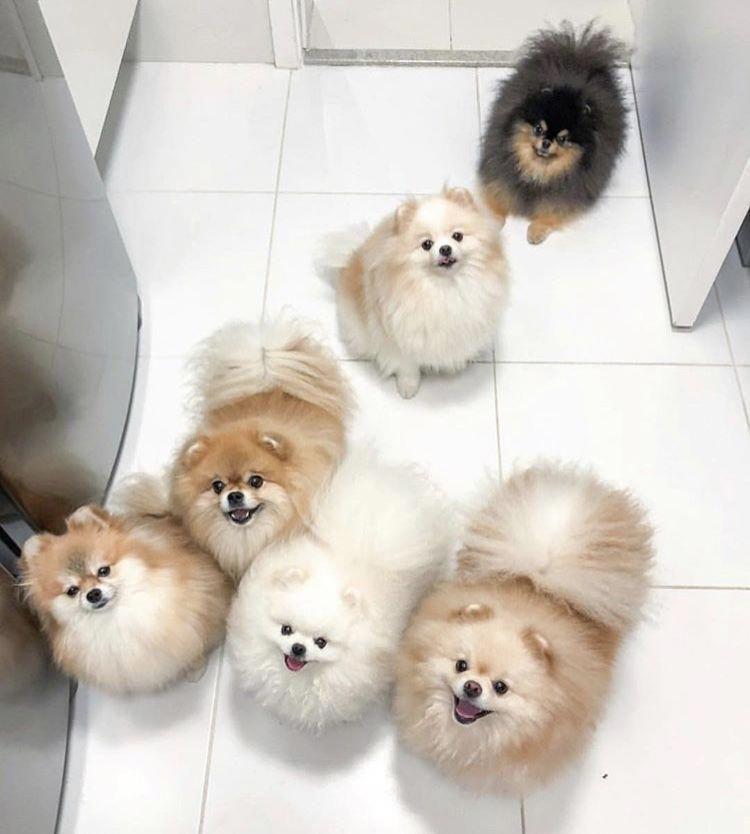 Pomeraniancute Pom Dog Puppy Find Cute Dogs