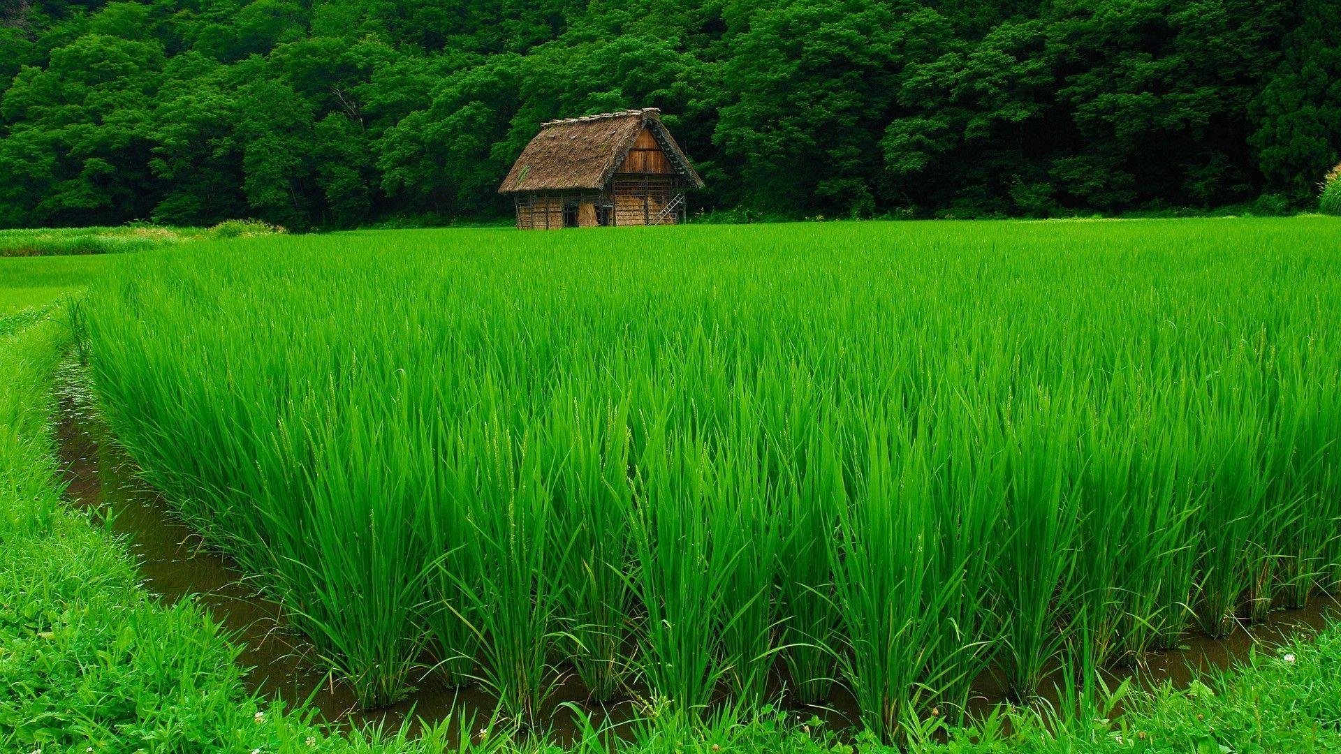 Beautiful Green Rice Field Wallpaper Green Nature Wallpaper House In Nature Field Wallpaper