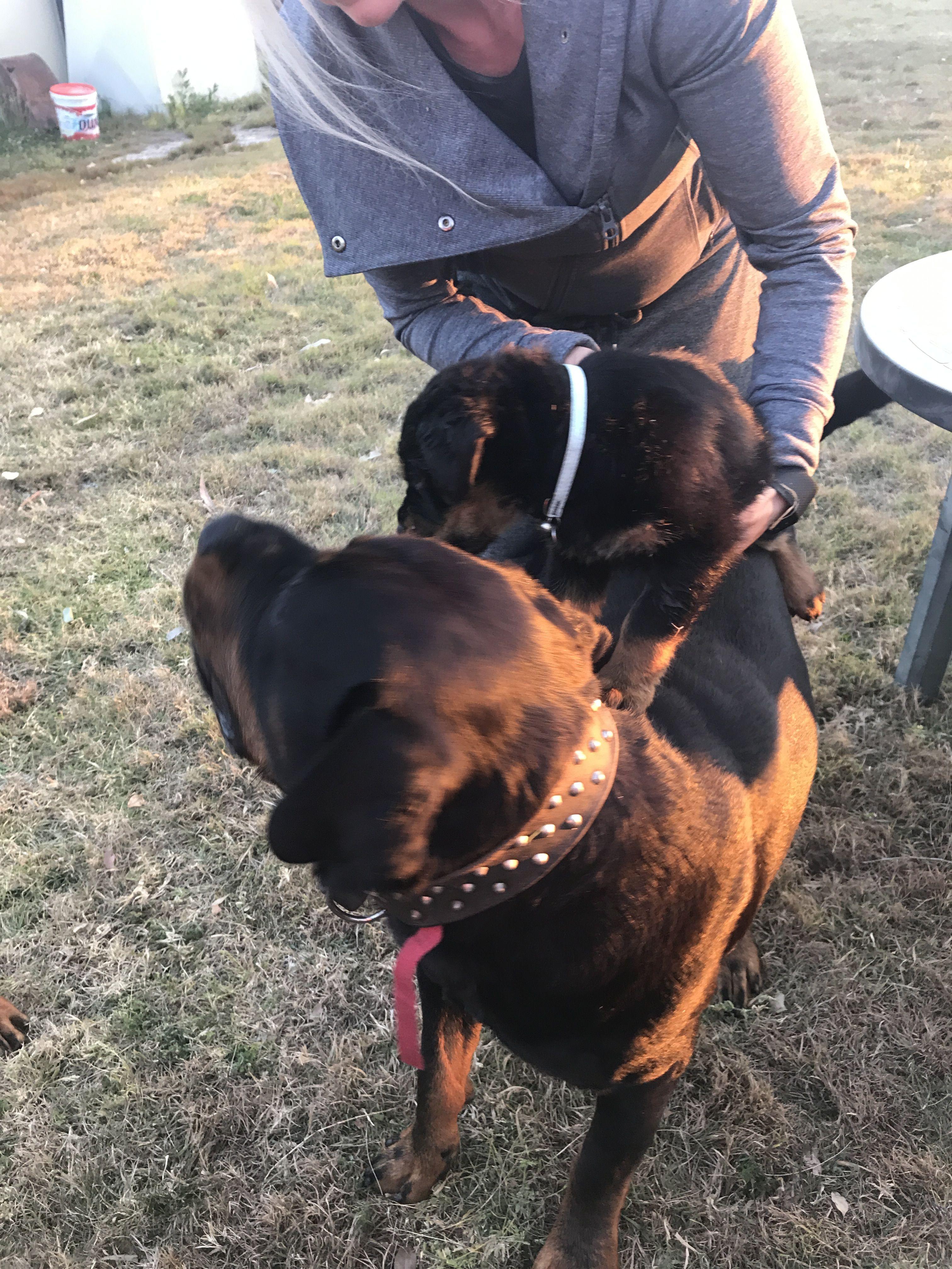 My Boys Rottweiler Rottweiler Rottweiler Dog German Dog Breeds