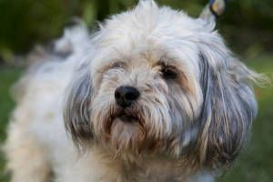 Napoleon is an adoptable Maltese Dog in Marina del Rey, CA. COURTESY POSTING - PLEASE CONTACT Christophe cell phone is: (310) 740-5563 Napoleon is a charming, loving (male) Maleste mix who will make a...