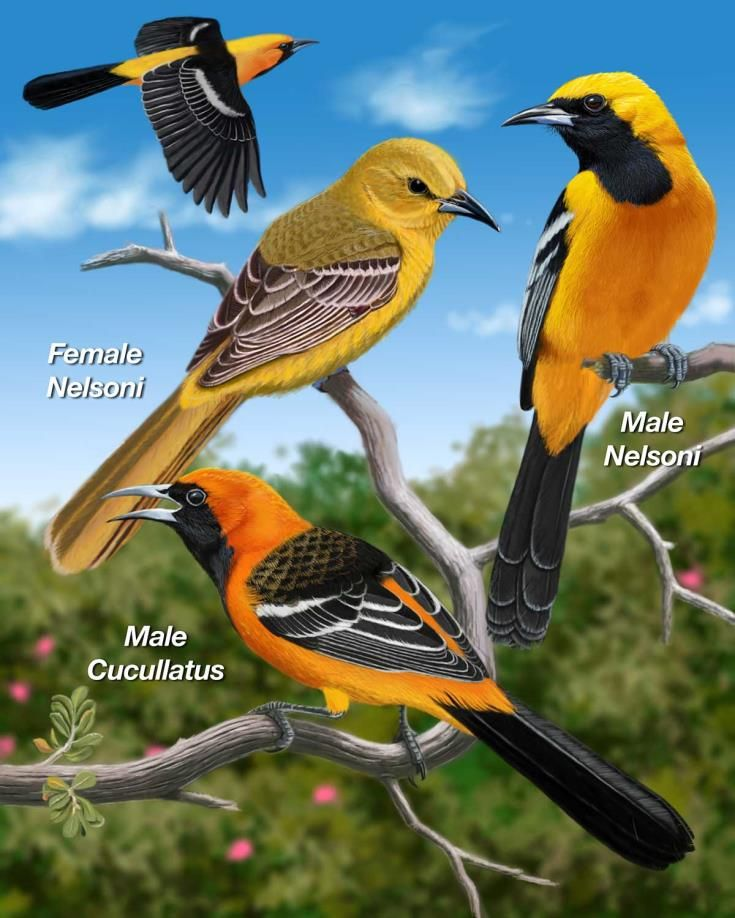 Hooded Oriole Medium Oriole With Bright Orange Yellow Head And