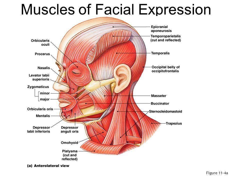 Facial Muscles Cephalicvein Anatomy Review Pinterest Facial