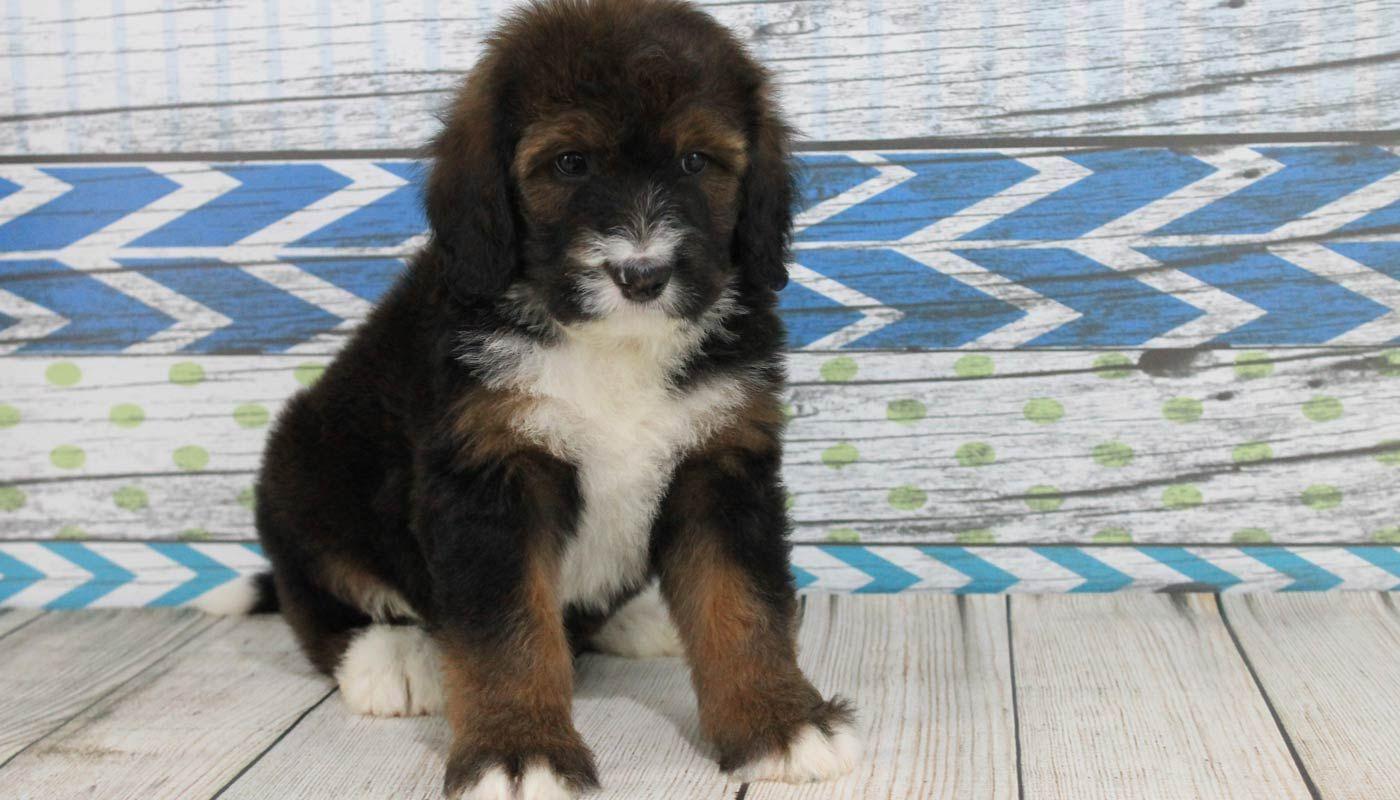 Bernedoodle Puppies Angel Breeze Puppies In Coshocton Ohio Bernedoodle Puppy Bernedoodle Puppies