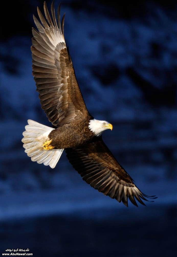 Great Eagle In Flight Bald Eagle Eagles Eagle