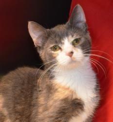 Adopt Cher At Petsmart On Cats Kittens Adoption