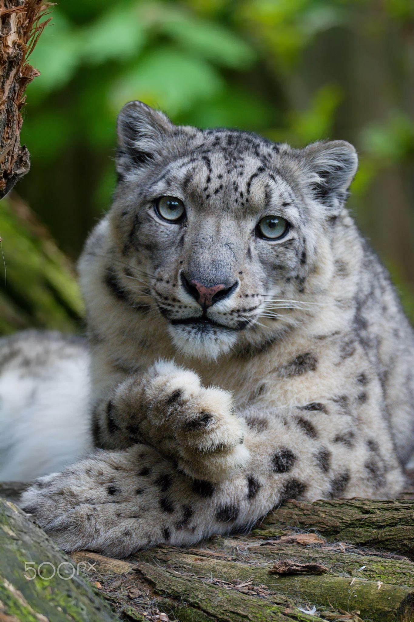 "Snow leopard - <a href=""https://www.facebook.com/OndrejChvatalFotograf/"">Facebook</a> / <a href=""https://www.ondrejchvatal.cz"">Ondrej Chvatal</a>"