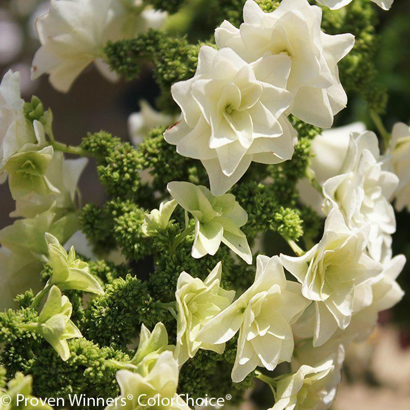 Gatsby star hydrangea hydrangea not blooming hydrangea