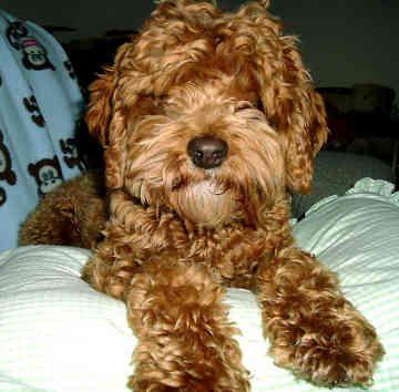 Google Image Result For Http Www Gotdogsonline Com Cockapoo Pictures Breeders Yorkshire Terrier Cockapoo Yorkshire Terrier Puppies