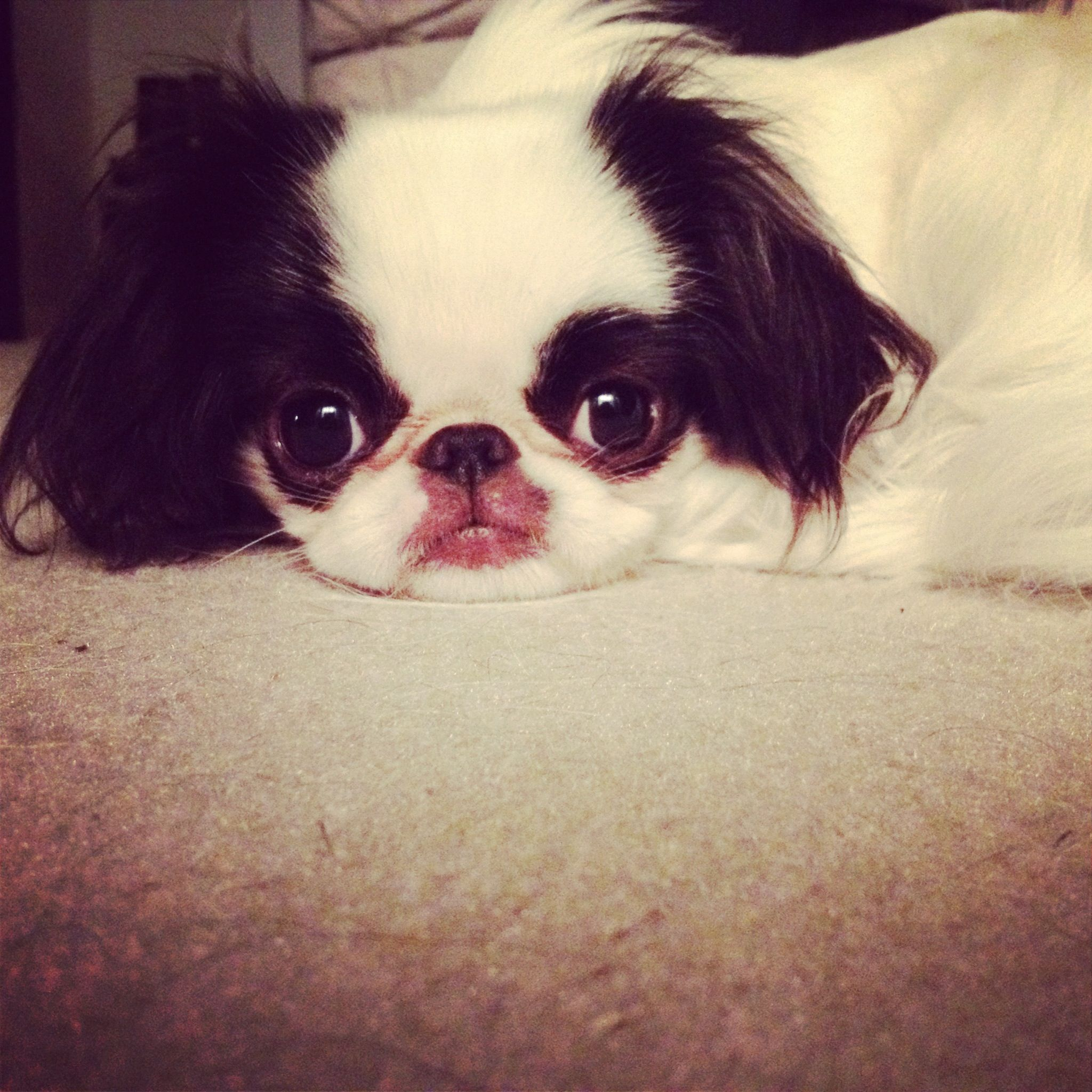 Gogo being extra adorable. Japanese chin, Japanese chin