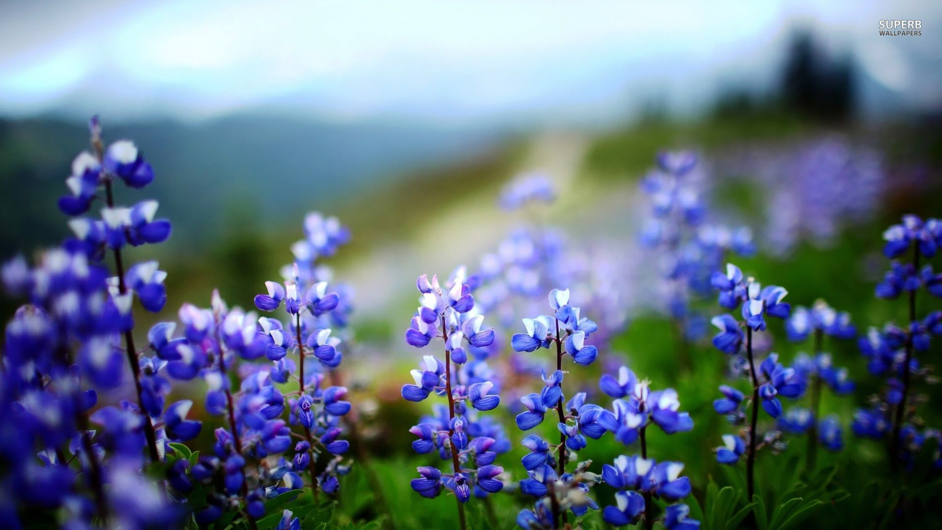 Lupines wallpaper Flower wallpapers 17822 Lupines