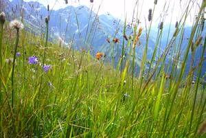 Bergwiesenblumen