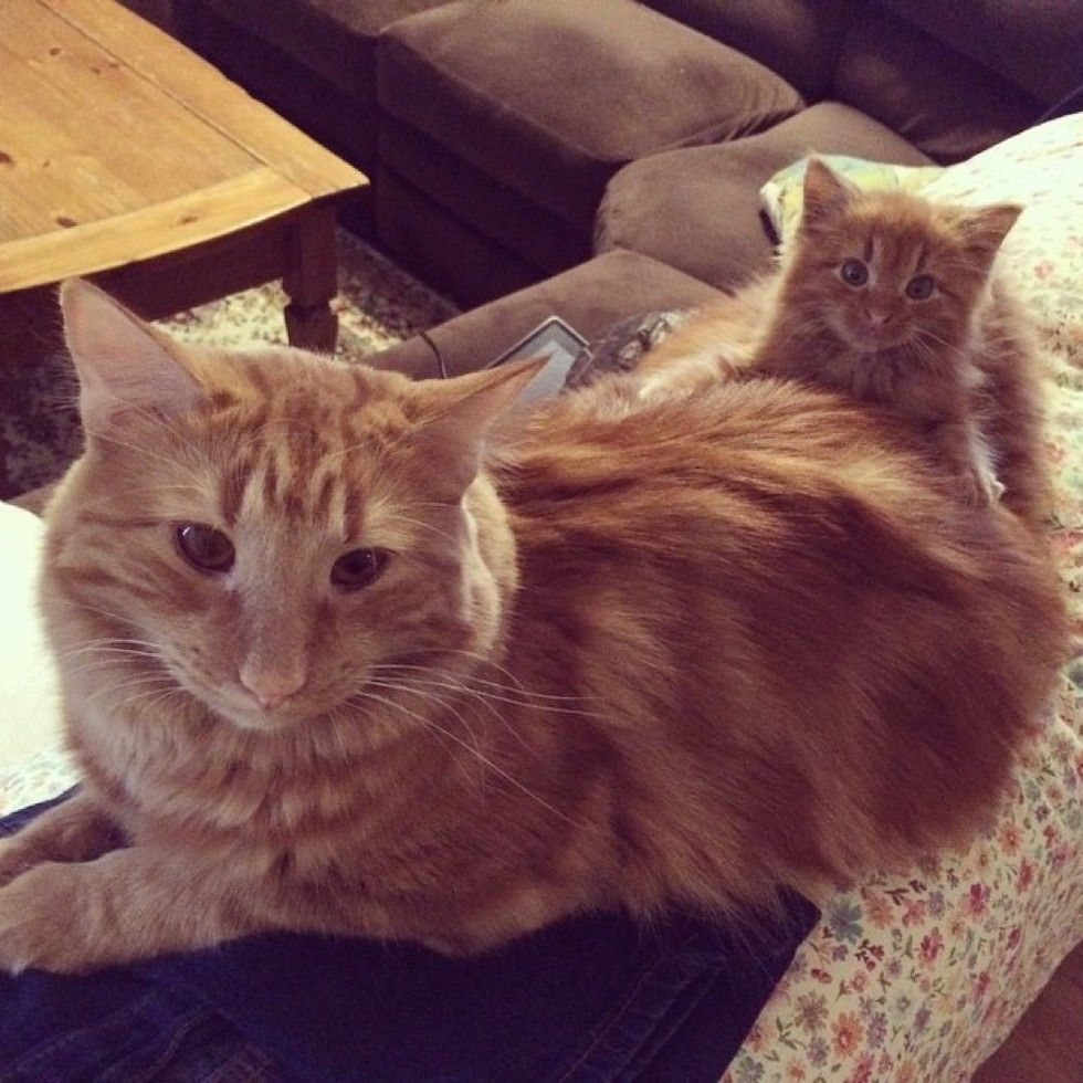 Cat Finds His Mini Me Decides To Adopt Him And Raise As His Own Ginger Cats Puppies And Kitties Orange Cats