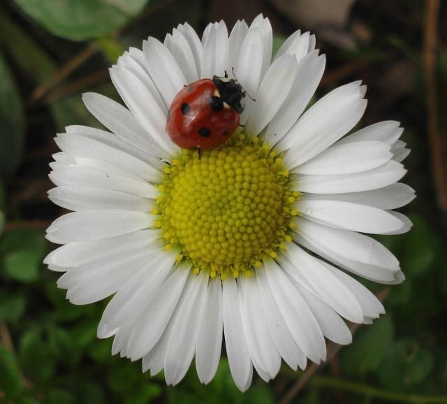 Nutzlinge Garten Marienkafer Pflanzen , Daisys And Lady Bugs Daisy Flowers Are My Favorite Flower In The