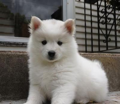 What Dog Breed Is A Bichomo