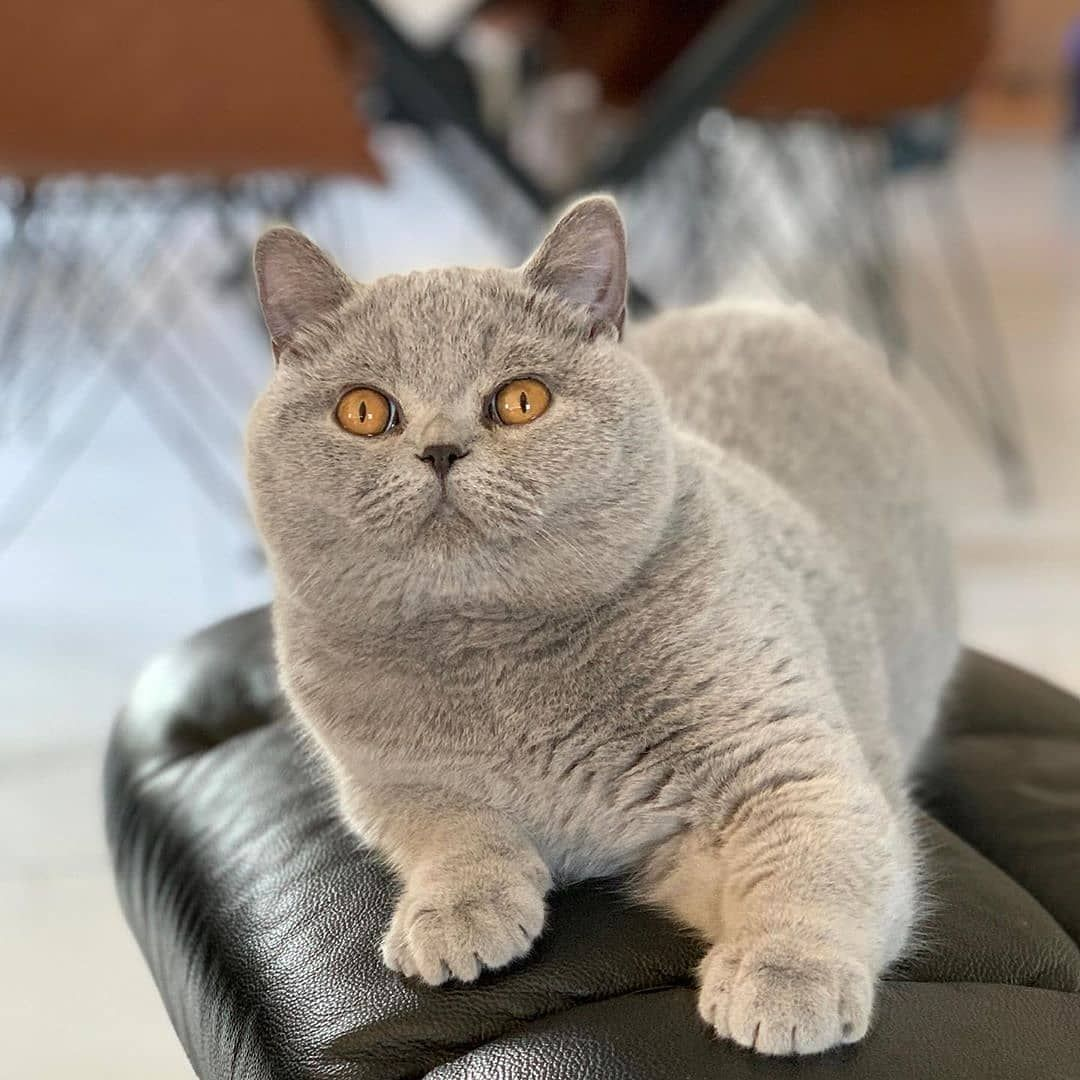 British Shorthair Kitten For Sale In Usa Lason Lorettabritish Black Golden Shaded Color With Green Eyes We Are In Chicago Il