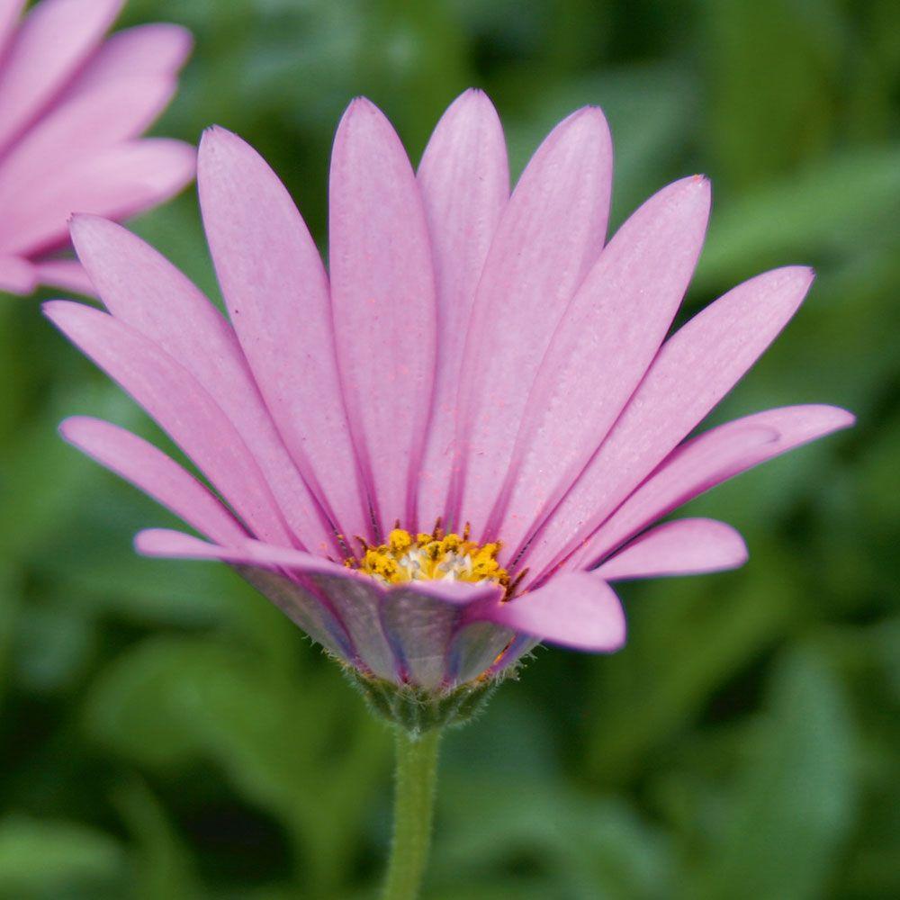 RECEIVED Osteospermum jucundum var. compactum (Hardy) - Cottage Garden Plants - Van Meuwen