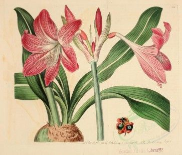 Flowers 16870 Striped Leaved Amaryllis Amaryllis Reticulata 3956x3367 Pictorial Blooming Artscult Commercial Flower 1800s F Pink Flowers Amaryllis Flowers