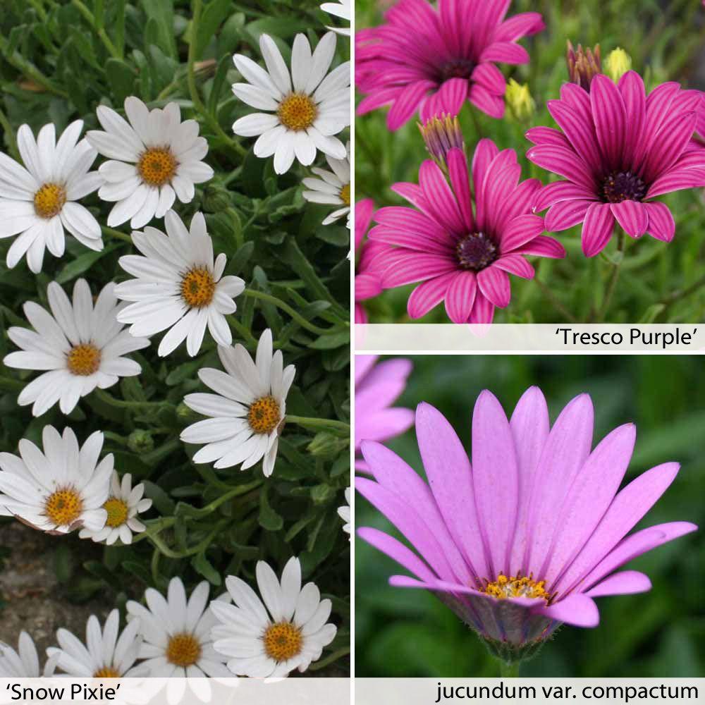 Osteospermum Collection (Hardy) - Perennial & Biennial Plants - Thompson & Morgan