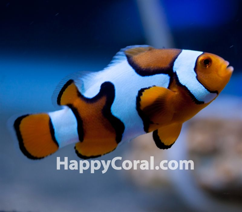 Live Corals For Sale Live Fish And Cheap Wysiwyg Colonies Page Not Found Clown Fish Fish Pet Corals For Sale