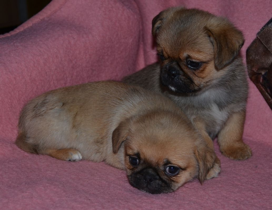 Pug Pekingese Pug Mixed Breeds Pugs Funny Chug Puppies